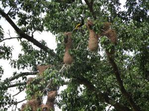 Pájaro y nido de Gulungo
