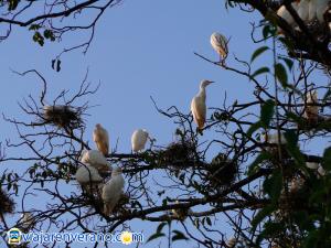 Garzas con nidos en árbol.