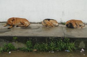 Canes haciendo la siesta.