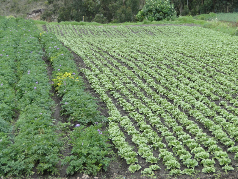 Cultivo de hortalizas.
